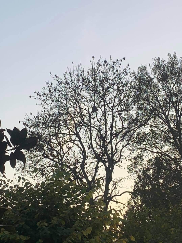 Destruction d'un nid de frelon asiatique
